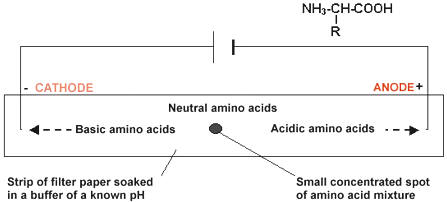how to find the isoelectric point of an amino acid