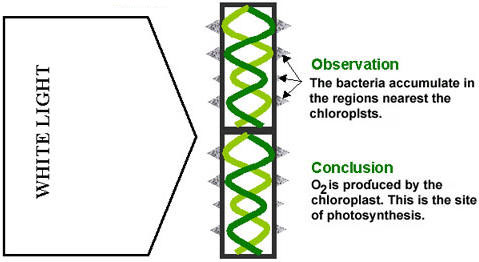 The open door web site ib biology photosynthesis engelmann photosynthesis experiment 2 ccuart Choice Image