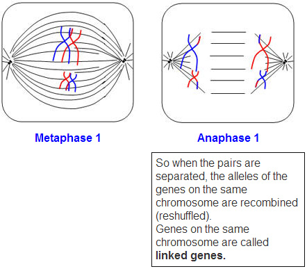 The open door web site ib biology genetics meiosis crossing over meiosis 1 crossing over ccuart Image collections
