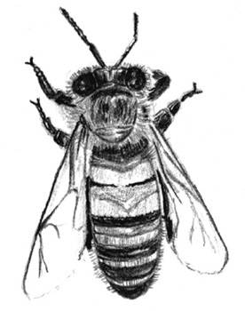 Drawing Of A Worker Bee C Shirley Burchill