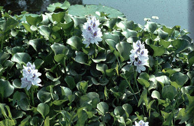 The water hyacinth © Paul Billiet