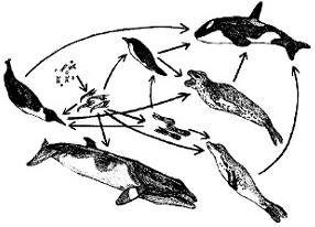 emperor penguin food chain - photo #18
