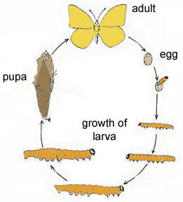 ... asshown by the following life cycle of the cabbage whitebutterfly