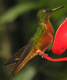 Humming Bird, Peru © Shirley Burchill
