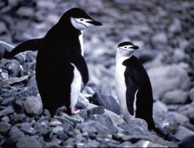 Chinstrap Penguins © Shirley Burchill