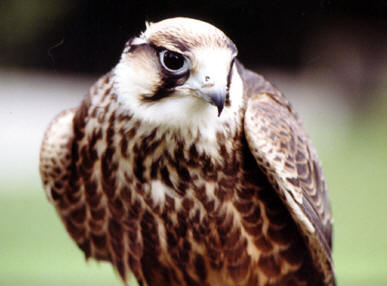 Hawk, Devon, UK � Shirley Burchill