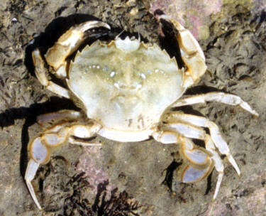 Crab © Shirley Burchill