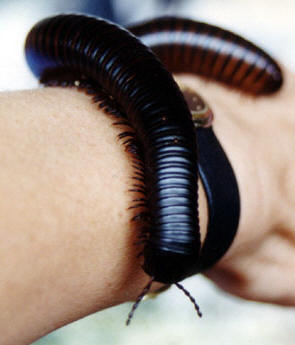Giant millipede, Bristol Zoo, UK � Shirley Burchill