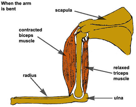 Diagram showing the muscles in a bent arm � Shirley Burchill