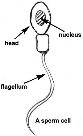 Drawing of a typical sperm cell © Shirley Burchill