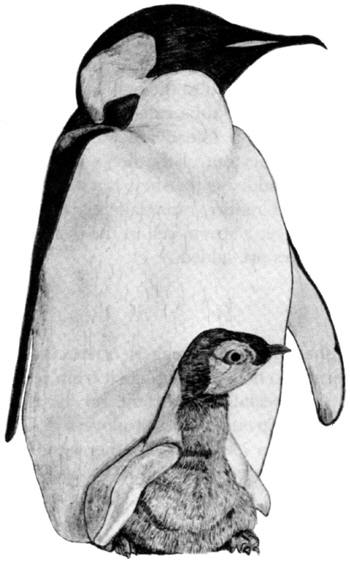 Drawing of an Emperor penguin with chick © Shirley Burchill