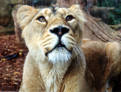 Asian lion, Bristol Zoo, UK � Shirley Burchill