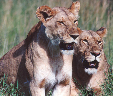 Lionesses, Kenya � Shirley Burchill