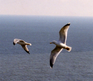 Seagulls, Yorkshire, UK � Shirley Burchill