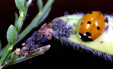 Ladybird with aphids � Paul Billiet