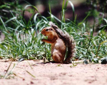 Ground Squirrel, Kenya � Shirley Burchill