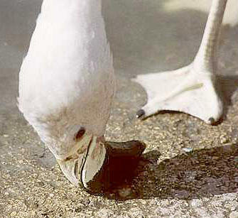 Flamingo, Slimbridge, UK � Shirley Burchill