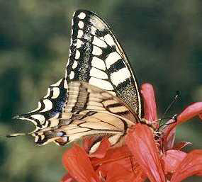 Butterfly � Shirley Burchill