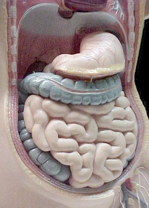 Model of the Human Digestive System � Shirley Burchill