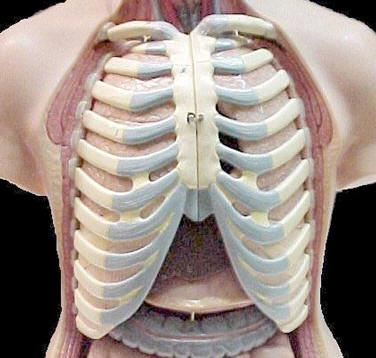 Model of the Human Rib Cage � Shirley Burchill