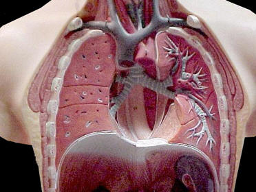 Model of the Thorax (rib cage removed) © Shirley Burchill