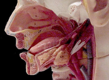 Model showing the nose and nasal cavities � Shirley Burchill