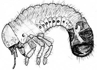The open door web site biology the tracheal breathing system of insect larva showing spiracles shirley burchill ccuart Images
