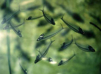 Upside down Glass Fish © Shirley Burchill