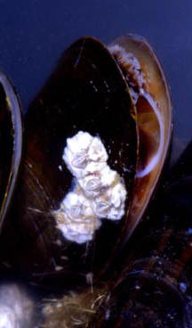 Mussel (showing gills) © Paul Billiet