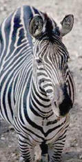 Zebra, Vincennes Zoo, Paris � Shirley Burchill