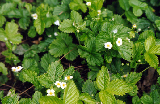 Wild Strawberries, Sheffield, UK &#169; Shirley Burchill