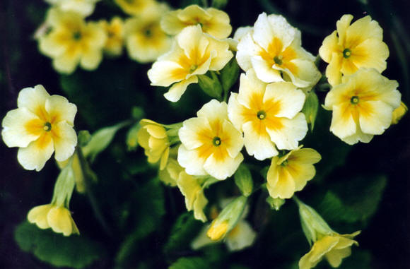 Primula, Bristol, UK � Shirley Burchill