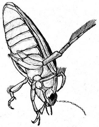 Drawing of a Great Diving Beetle © Shirley Burchill
