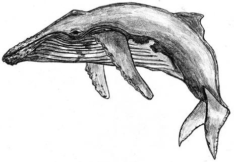 Drawing of a humpback whale © Shirley Burchill