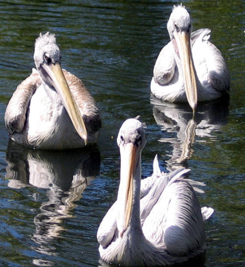Pelicans, Bristol Zoo, UK � Shirley Burchill
