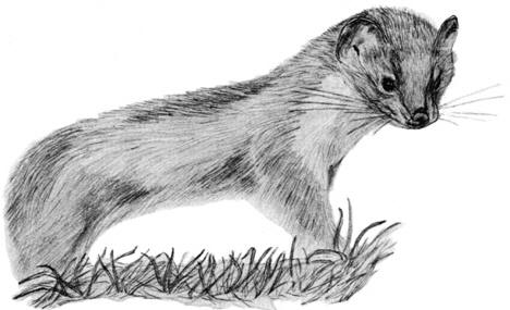 Drawing of a stoat �  Shirley Burchill