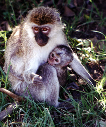 Monkey with baby, African Savannah © Shirley Burchill