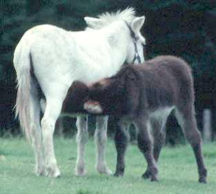 Donkey with foal, Deven, UK  © Shirley Burchill