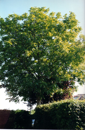 Walnut tree, Bristol, UK � Shirley Burchill