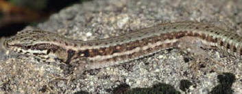 Wall lizard © Paul Billiet