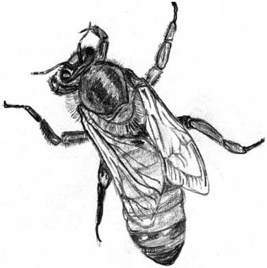 Drawing of a queen bee © Shirley Burchill