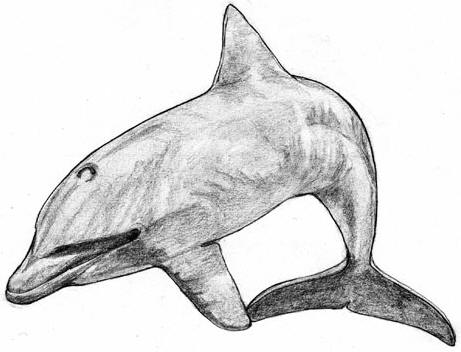 Dolphin drawing � Shirley Burchill