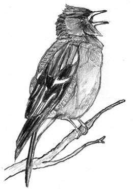 Drawing of song-bird � Shirley Burchill