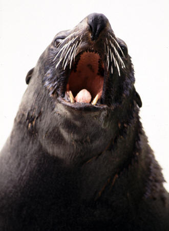 Noisy sealion, Bristol Zoo, UK � Shirley Burchill