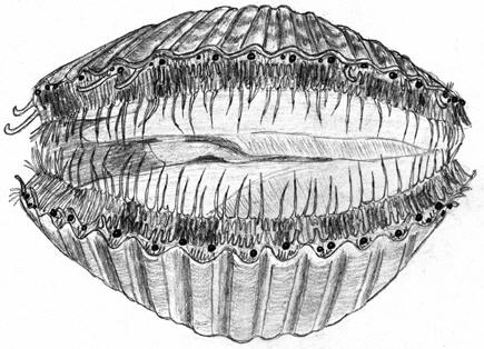 Drawing of a scallop showing its simple eyes � Shirley Burchill