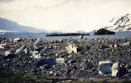 Whale bones left by whalers on an Antarctic Beach © Shirley Burchill