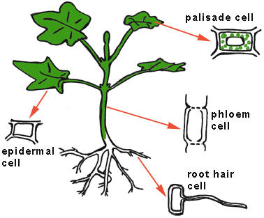 examples of specialized plant cells submited images