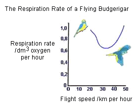 Drawing showing the respiration rate of a flying budgerigar � Shirley Burchill