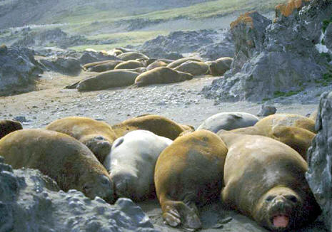 Elephant seals moulting, Antarctica  © Shirley Burchill
