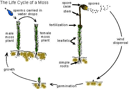 the open door web site colonizing and populating habitats seeds Moss Spore Cluster